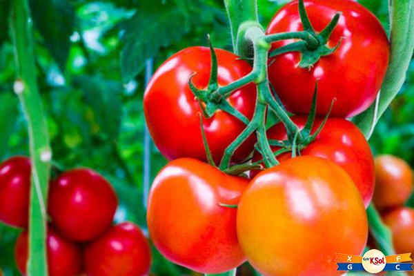 Cà chua giàu lycopene từng được chứng minh có tác dụng ngừa ung thư tinh hoàn