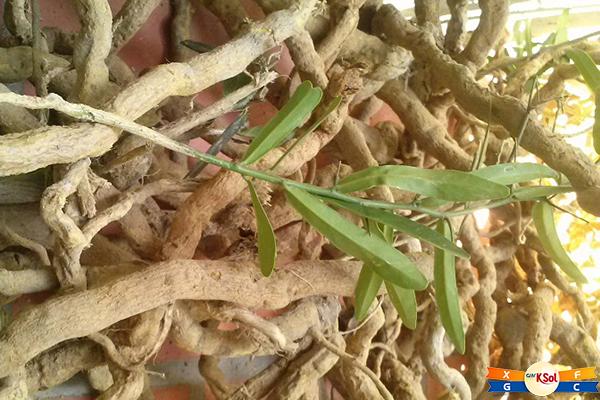 Xáo tam phân (tên khoa học Paramignya trimera) là một loài thực vật trong họ Rutaceae