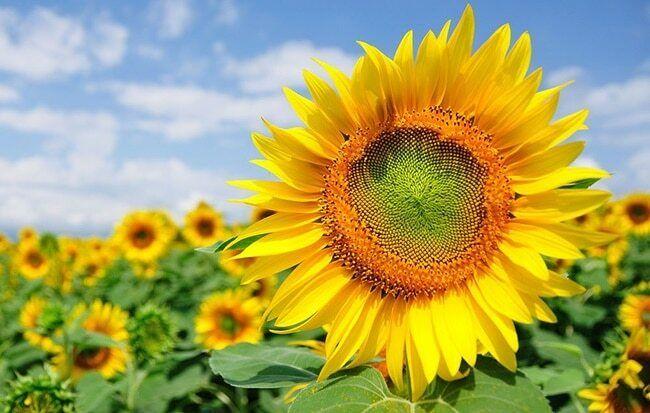 Hãy sống như những đóa hoa vươn về phía mặt trời